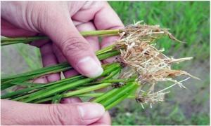 Một số kinh nghiệm phòng trừ tuyến trùng hại rễ trên cây lúa