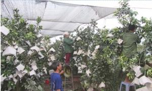 Làng có hơn 300 phụ nữ chuyên làm nghề chiết ghép, nhân giống cây ăn quả ở Văn Giang