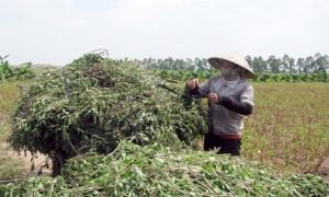 """Tinh dầu húng quế """"made in"""" làng đảo Vân Nghệ"""