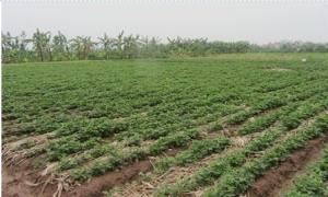 Kỹ thuật trồng nghệ 'mượn giống'