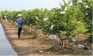 Kinh nghiệm trồng ổi Đài Loan bán được giá cao