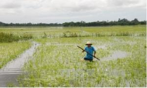Các biện pháp khắc phục và chăm sóc lúa sau ngập úng