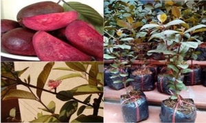 Phát sốt vì giống ổi sim ruột tím, có hoa nở giá 1,2 triệu đ/cây