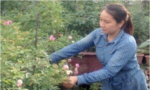 Hoa hồng khoe sắc trên đồng đất Văn Giang