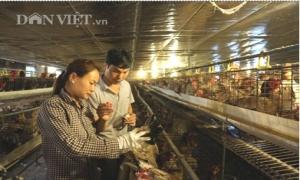 Nông dân Khoái Châu kiếm hàng trăm triệu nhờ thụ tinh nhân tạo cho gà