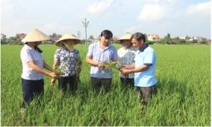 Hưng Yên chủ động phòng, trừ sâu bệnh hại lúa