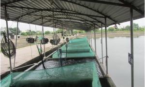 Choáng ngợp với trại cá giống lãi 1,5 tỷ đồng/năm