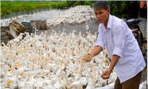 'Chúa vịt' đất Bắc sản xuất trứng sạch, lãi 3 tỷ đồng/năm
