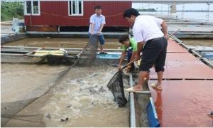 Mô hình nuôi cá lồng trên sông Hồng ở thành phố Hưng Yên cho hiệu quả kinh tế cao
