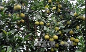 'Vựa' cây ăn quả có múi mới nổi xã Đồng Thanh, Kim Động thu 100 tỷ đồng/năm