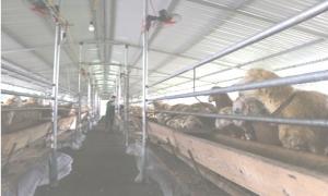 Ông Thân làm giàu từ trang trại dê , cừu, cá.