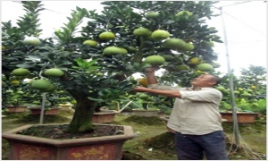 """Nông dân Văn Giang """"làm đẹp"""" cây cảnh phục vụ Tết cổ truyền"""