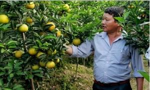 Cam Hưng Yên chuẩn VietGAP 'chinh phục' người tiêu dùng thủ đô
