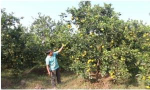 Thành công từ mô hình trồng cam ở Quảng Châu
