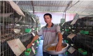 Nông dân xứ nhãn nuôi chim bồ câu - Một vốn bốn lời