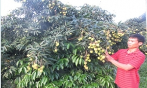 Phù Cừ bội thu mùa vải VietGAP, giá trị ước đạt hơn 100 tỷ đồng