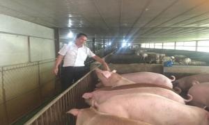 Mô hình nuôi lợn thịt bằng thảo dược trên địa bàn huyện Yên Mỹ