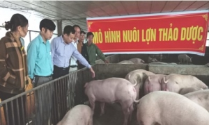 Những thành công bước đầu tại mô hình nuôi lợn thịt bằng thảo dược.