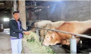 Nông dân Hưng Yên nuôi bò vỗ béo, nhàn hạ, dễ giàu