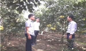 Hội nông dân huyện Yên Mỹ tổ chức hội nghị đầu bờ đánh giá kết quả mô hình trồng bưởi Quế Dương.