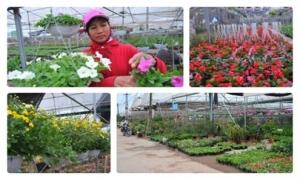 Nông dân đua nhau làm giàu trên làng hoa Xuân Quan