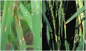 Bệnh Đạo ôn hại lúa