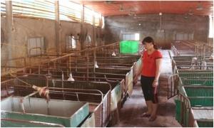 Xem xét miễn giảm lãi vay cho người chăn nuôi thiệt hại vì dịch tả lợn