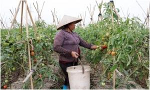 Hưng Yên: Rau màu vụ xuân được giá