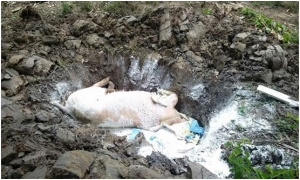 Chính sách hỗ trợ phòng, chống bệnh dịch tả lợn châu Phi