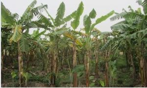 Không có giống chuối Thái Lan kháng virus và bệnh vàng lá