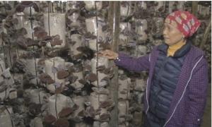 Hộ nông dân Tiên Lữ trồng nấm cho doanh thu gần 1,5 tỷ đồng/năm