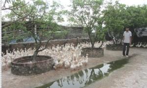 Chỉ ấp trứng vịt lộn, một thôn ở Hưng Yên thu gần 200 tỷ đồng/năm