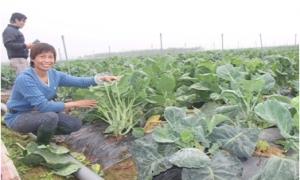 Thu cả trăm triệu mỗi tháng nhờ trồng rau sạch công nghệ cao