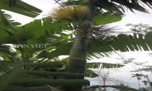 Cây cau trong làng quê Việt