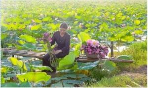 Thăm cánh đồng sen rộng mênh mông tại Hưng Yên