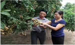 Sản lượng nhãn Hồng Nam giảm khoảng 800 tấn