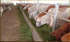Hưng Yên phấn đấu tỷ lệ bò lai Brahman đỏ trên 70% vào năm 2017