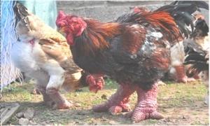 """Cặp chân """"khủng"""" của gà Đông Tảo được báo nước ngoài tán tụng"""