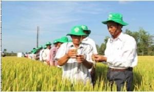 Xây dựng thương hiệu gạo từ làm cánh đồng lớn