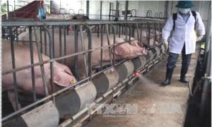 Cảnh báo nguy cơ bùng phát dịch bệnh trên đàn gia súc