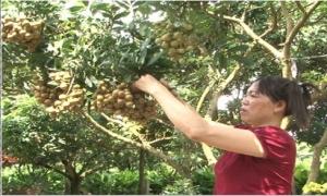 Vườn nhãn ở thành phố Hưng Yên thu hoạch nhãn sớm cho hiệu quả kinh tế cao