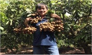 Việt Nam xuất khẩu nhãn Miền Thiết sang Mỹ