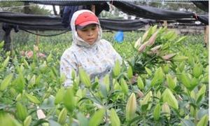 Nhóm giống hoa lily trồng phổ biến