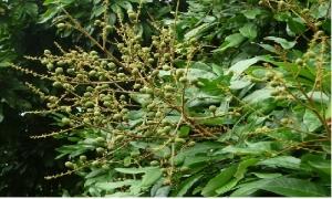 Kỹ thuật chăm sóc cây nhãn giai đoạn quả non đến thu hoạch