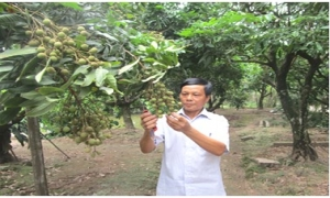 Được mùa lớn, sản lượng tăng 30%, nhãn lồng Hưng Yên sắp có hội
