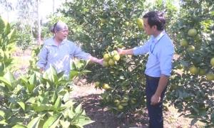 Hưng Yên yêu cầu không mở rộng diện tích trồng nhãn, chuối, cam