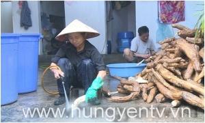 Vào vụ chế biến bột sắn dây ở phường Hồng Châu, thành phố Hưng Yên
