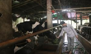 Bén duyên với bò sữa, nông dân thu lãi 400 triệu/ năm