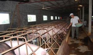 Bỏ nghề điện về chăn nuôi, lãi 200 triệu đồng/năm